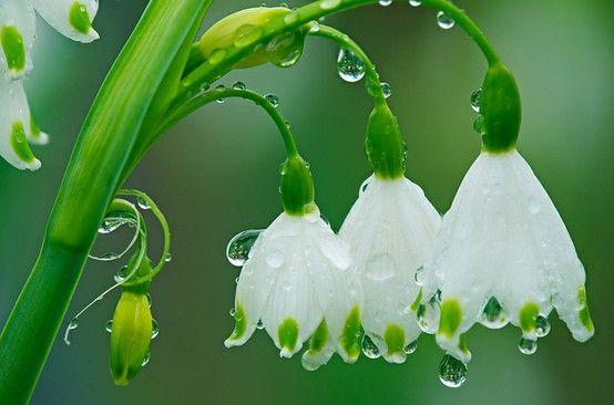 Snowdrops plus glittering dew drops!