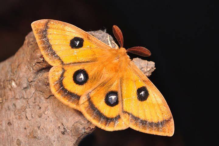 Nachtfalter Motten Moth Nachtfalter Falter Motte