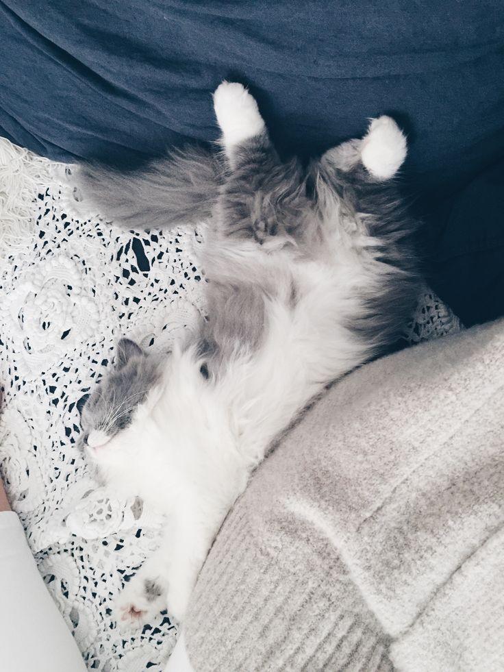 Chaton mignon bicolore bleu et blanc. British longhair du Clos d'Eugénie (élevage de chat british shorthair et british longhair). Mannequin Lynn et photo Vanessa Pouzet. Cat, kitten british
