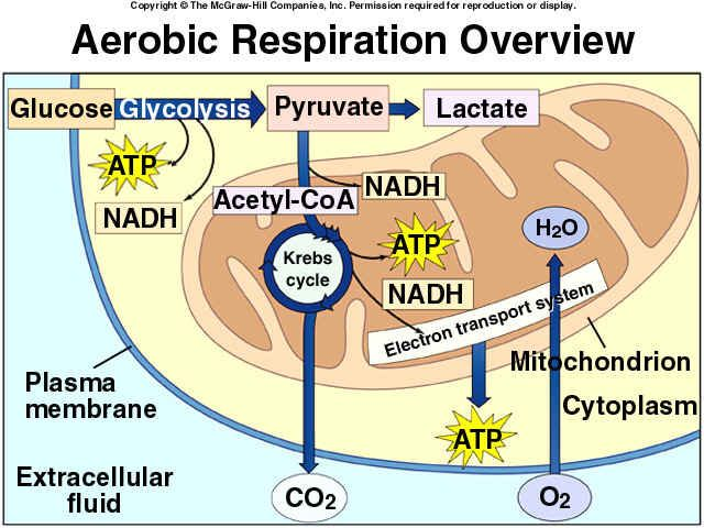 65 best cellular respiration images on pinterest cell biology cellular respiration might help me study for my biology ccuart Choice Image