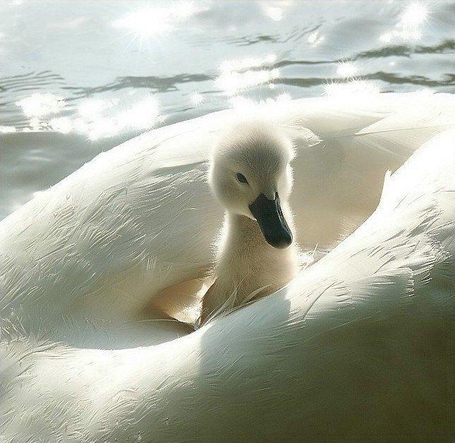 La placidez de la suave navegacion de esta cria de cisne en el lomo tibio de su madre, la cual debe estar picoteando algún insecto, semilla ,yuyo...