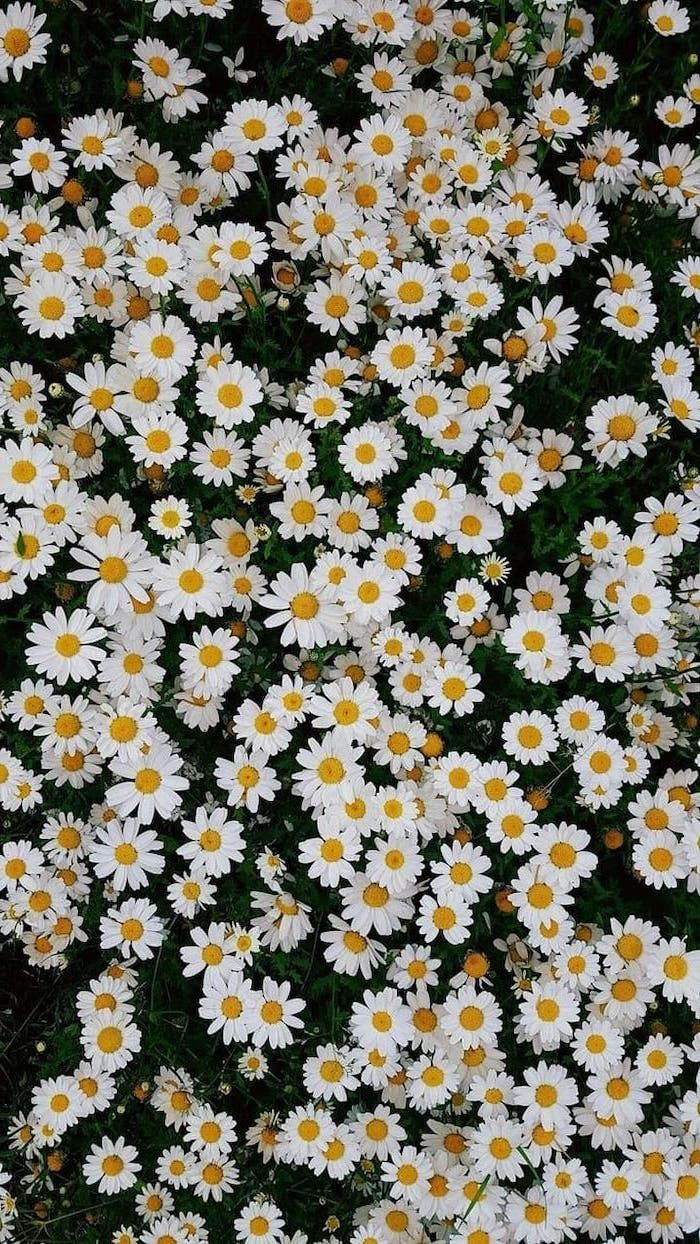 spring desktop wallpaper, lots of small white daisies, floral phone wallpaper