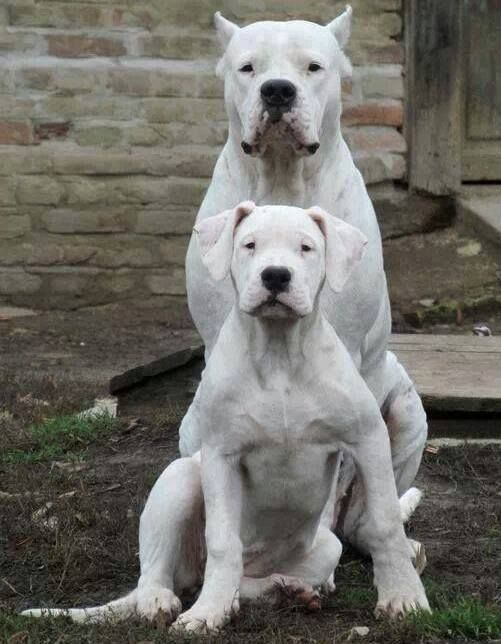 Dogo Argentino , ears cropped uncropped