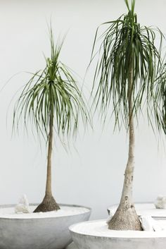 "Officially called the beaucarnea recurvate, the slow-growing ponytail palm likes basking in a sunny window. Don't over-water the Mexico native, because ""its stems work off its reserves,"" says Nejman."