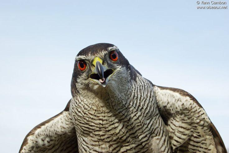 Autour des palombes - Accipiter gentilis