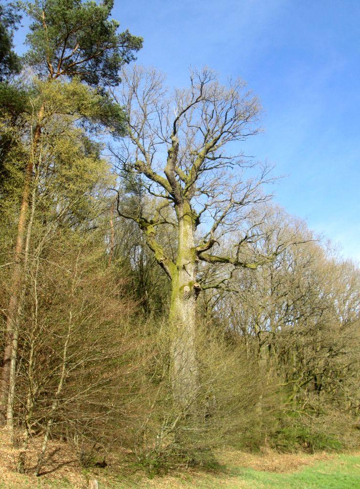 Le Chêne des Suédois à Reyersviller: souvenir vivant des horreurs de la guerre de Trente-Ans dans le Pays de Bitche – Vosges-du-Nord.fr