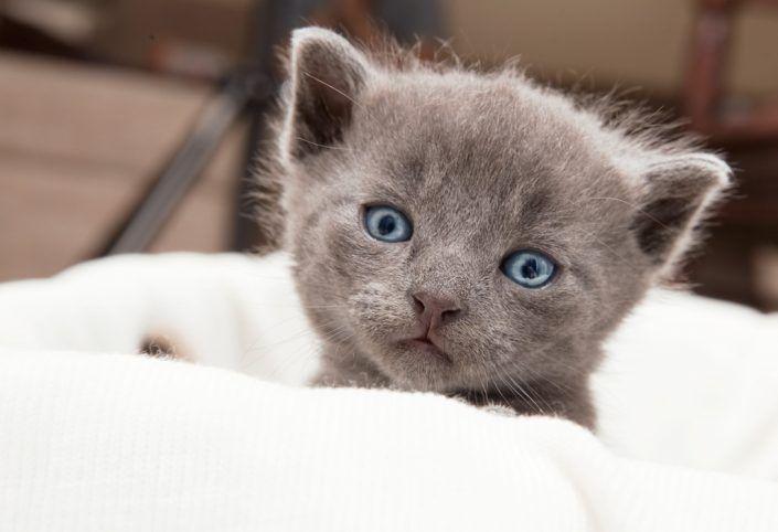 Katzenrassen: Britische Kurzhaarkatze...