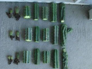 Cactus - Matériel à bouturer (segments et rejets)