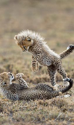 "Cheetah Cubs: ""Playtime!""      ❤"