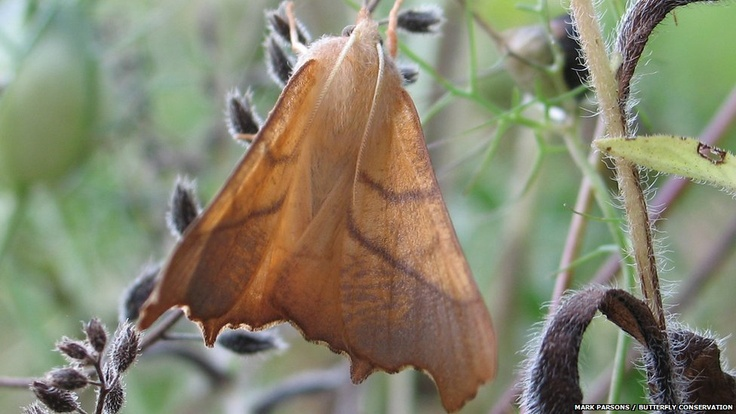 Pictures: Ups and downs for UK moths