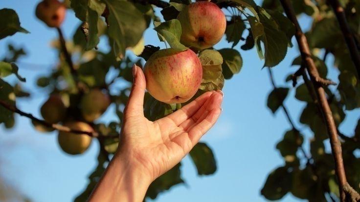 Apfelernte... wann ist die beste Zeit dazu? - Apfel pflücken