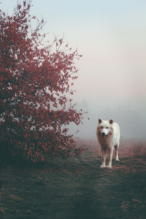 White wolf                                                                                                                                                                                 Mais