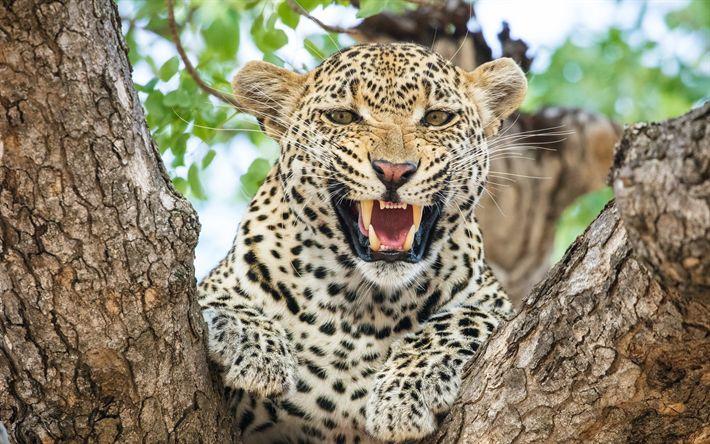 Lataa kuva Leopard, villi kissa, Afrikka, vaarallisia eläimiä