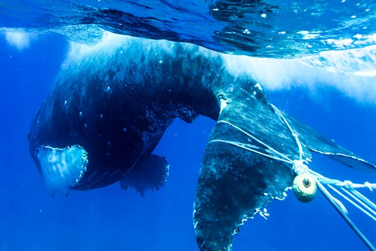 A new California law rewards crabbers for removing from the ocean lost and abandoned traps that entangle and kill marine mammals.