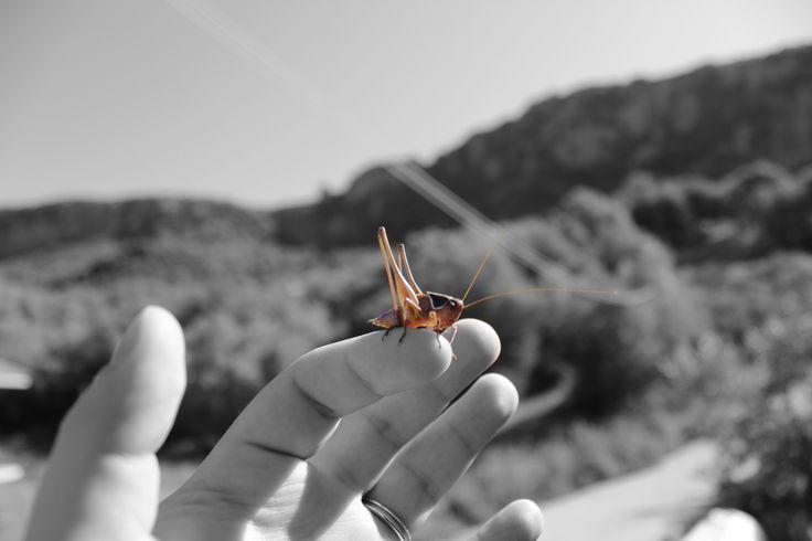 Grasshopper at Rizovouni village