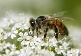 Bees are well known for being some of the most important garden pollinators of all. They need flowers with open heads allowing them easy access to the nectar. Clover, buddleia, lavender and honeysuckle are great for bees and look lovely too.