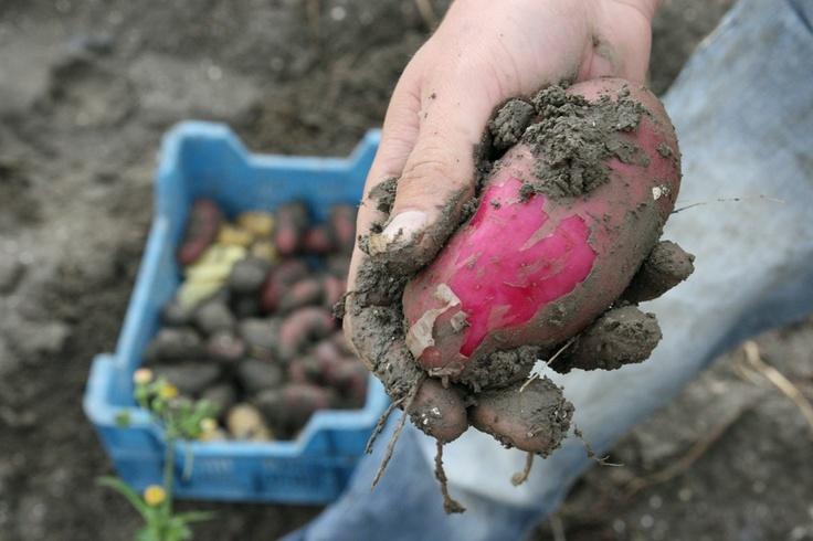 Farmer Krispijn digs up his multicoloured organic potatoes. Let's save our soils.