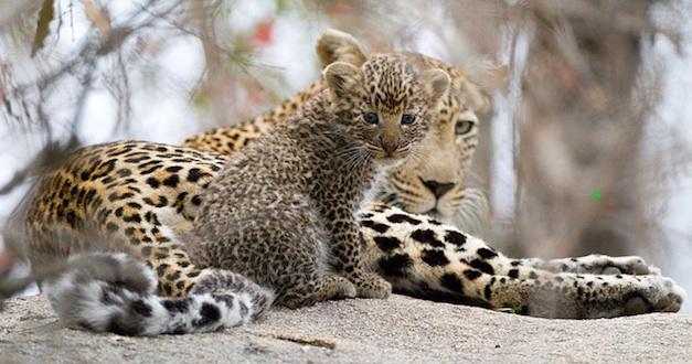 THE WINNER: Jakkalsdraai female leopard and cub by Max Waugh