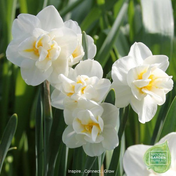 Daffodil Cheerfulness S Double Flowers Are Creamy White With Yellow Highlights And One Of Ngb Top 10 Daffodils For Daffodils Narcissus Flower Fragrant Flowers