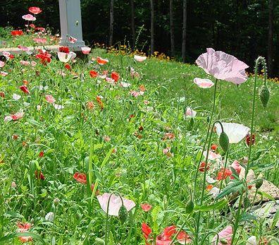 EXALTED BEAUTY: Poppy Gardens