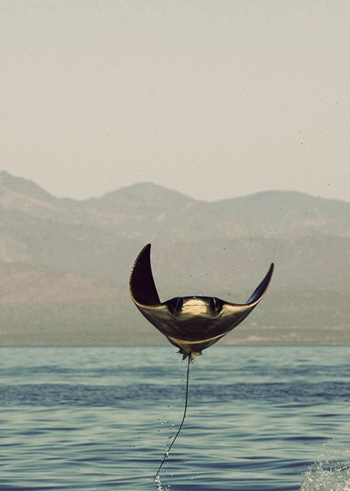 Ray - saw one of these leap out of the water this summer... so amazing!