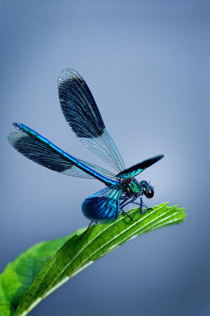 ✯ Dragonfly