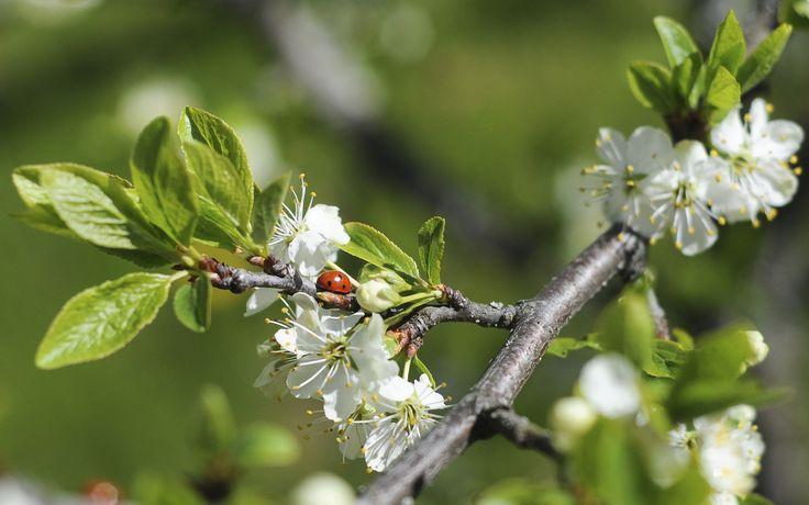 Luumuu kukkii/ plomtree blooming