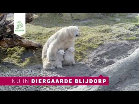 IJsbeertjes in Diergaarde Blijdorp - Polar bear cubs in Rotterdam Zoo - YouTube