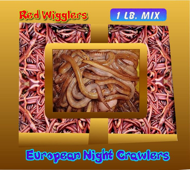 Red Wigglers/European Night Crawlers (1 Full Pound) + 1 Lb. of Worm Chow