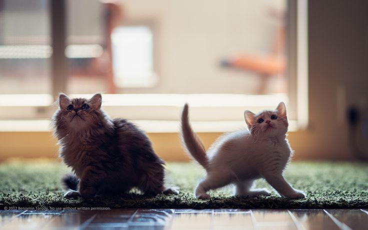 Fond d'écran hd : chatons