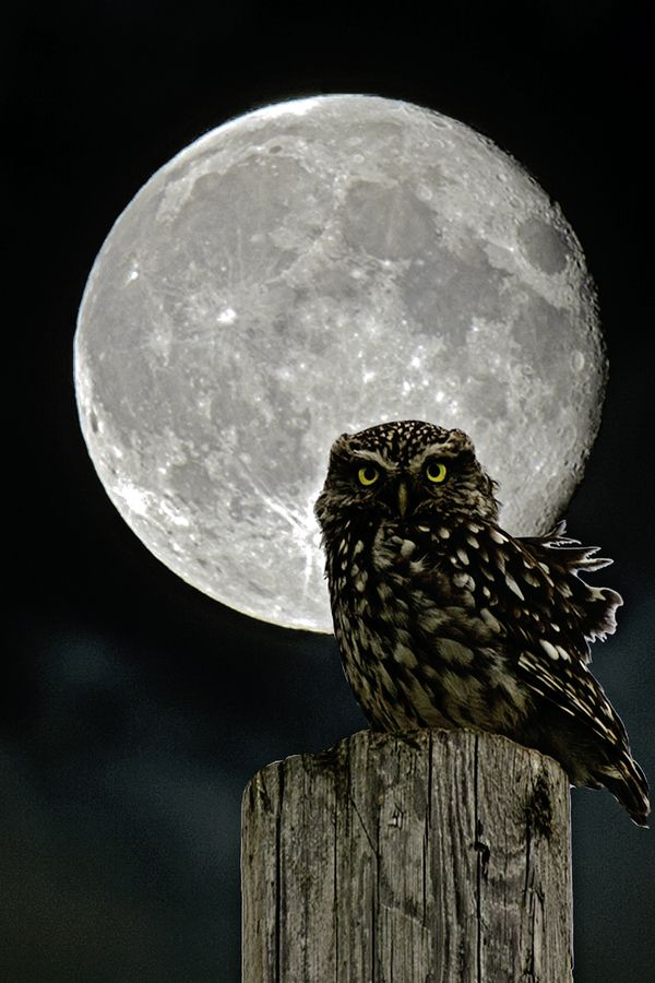Little Owl in Moonlight (Athene nuctua) by Tim Tapley on 500px