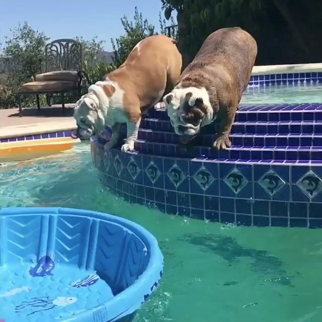 """Mi piace"": 14.5 mila, commenti: 579 - Bullys Of Instagram (@bullyinstagram) su Instagram: ""Summer lovin' ❤️ (: @1blue_eyed_bulldog) Please remember most Bulldogs cannot swim and must be…"""