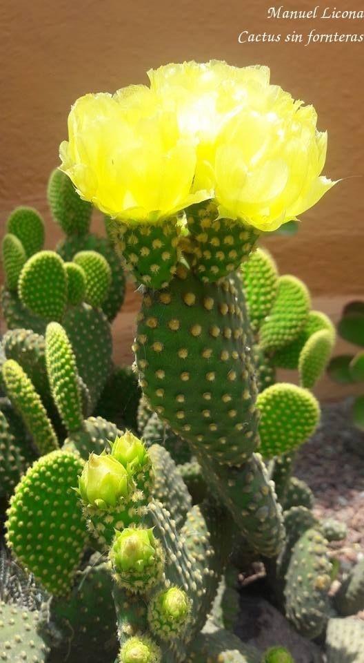 Opuntia microdasys / Cactus sin fronteras / Manuel Licona