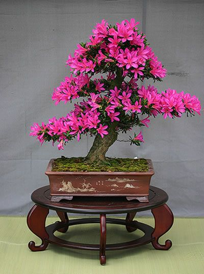Bonsai Azálea Rosa                                                                                                                                                                                 Mais