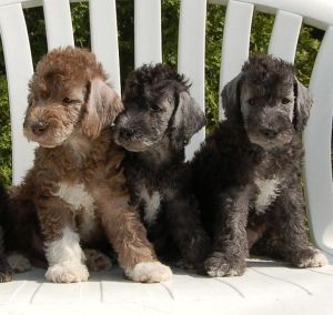 Schnauzer Puppies For Sale In Johnson City Tn