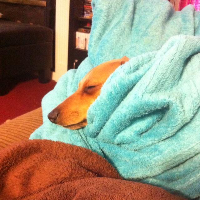 My Tyson...from HeavenlyHunds!!! Snug as a bug in a rug!
