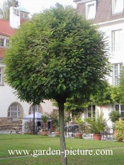 17 mejores ideas sobre rboles peque os en pinterest for Arboles para jardines pequenos