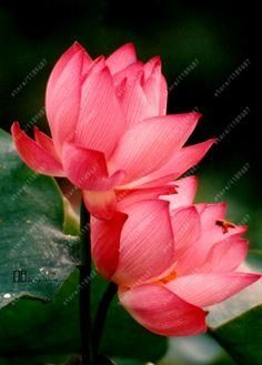 10pcs/bag lotus flower seeds, Aquatic Water Plants water lily flower seeds plant for home garden