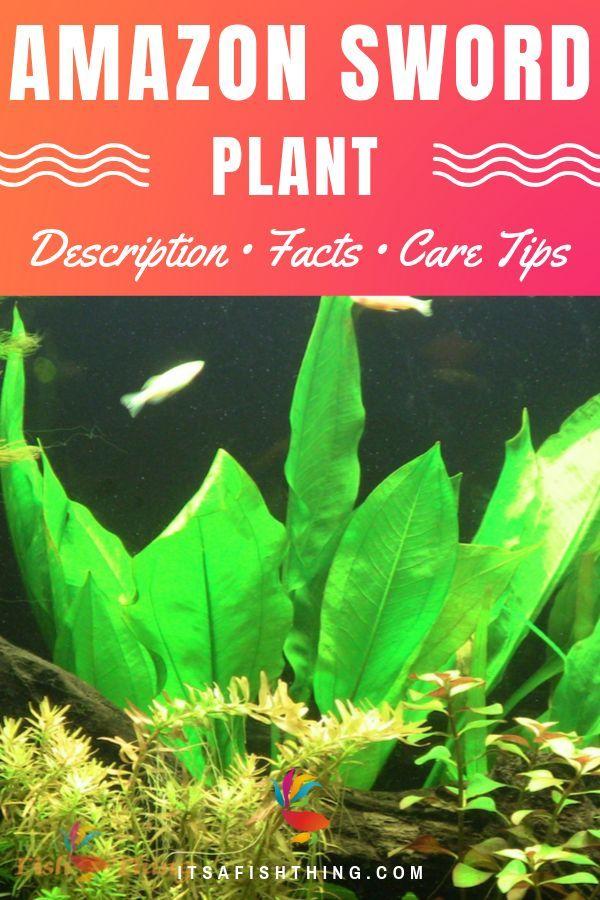 Amazon Sword Care Guide Planting Tank Mates Tank Conditions More Fish Tank Plants Planted Aquarium Freshwater Aquarium Plants