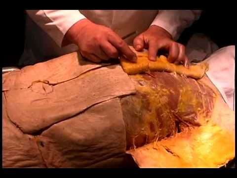 Anatomical Dissection #1: Skin & subcutaneous tissue of trunk and upper tight