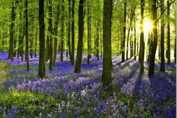 17 Best Images About Bluebells On Pinterest England
