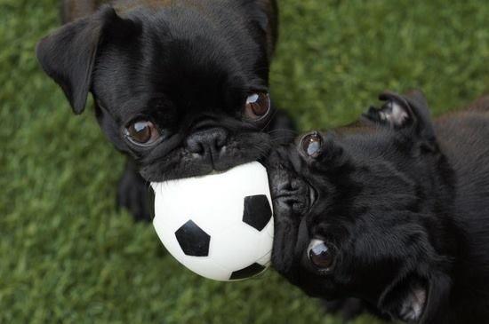 Cute Black Pug Puppies Playing Tug a Ball lol {:-) (mine, mine, mine....)