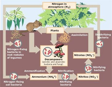 129 best images about PhoToSYnTheSis and the NiTRogEn CyCLe on ...