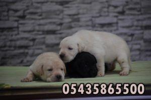 satılık labrador retriever yavruları  http://www.yavrulabrador.com/satilik-labrador-yavrulari-2.html