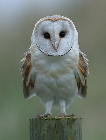 Barn Owl | Barn Owl - These are pale, long-winged, long-legged owls, 33-39 cm in ...