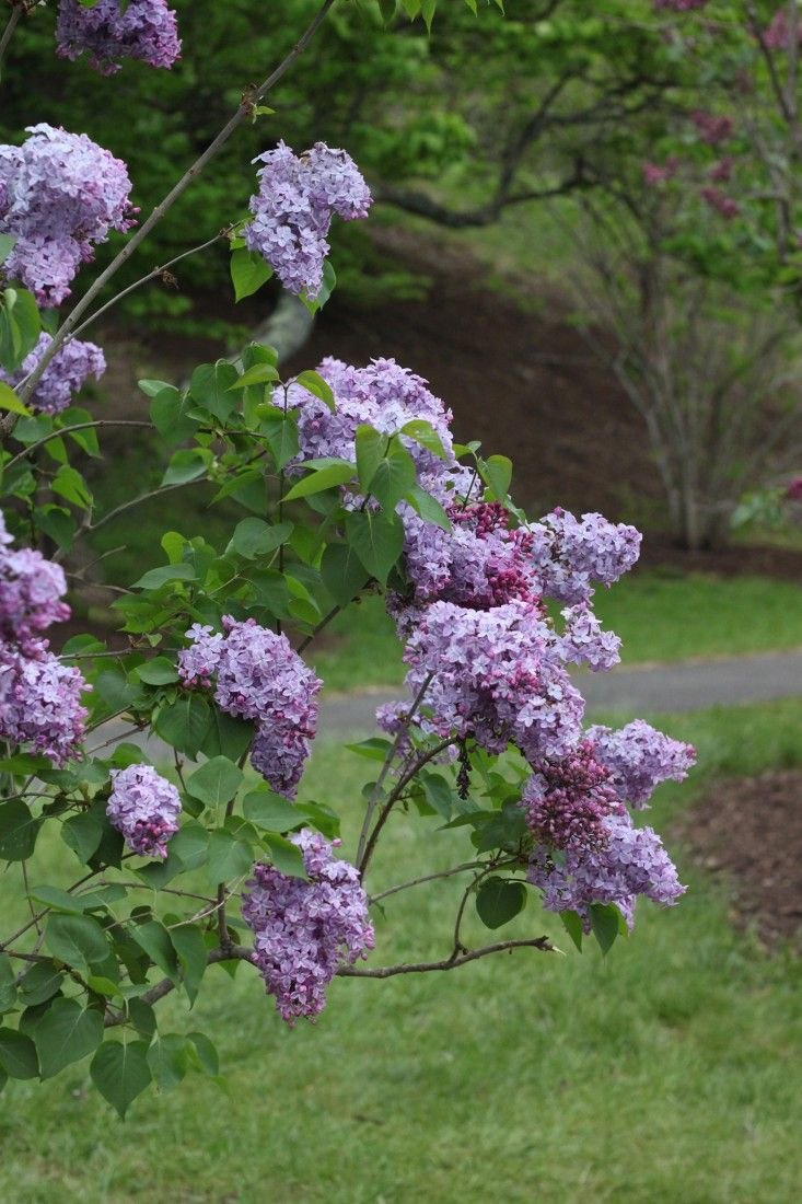 lilacs in the country