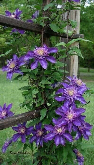 """Clematis with 6"""" plus flowers.  Needs sun."""