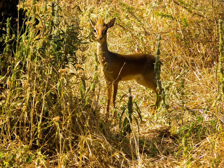 Dik dik ! Antilope d'Afrique!