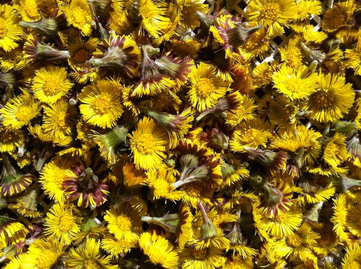 coltsfoot picked in sunshine to dry for tea