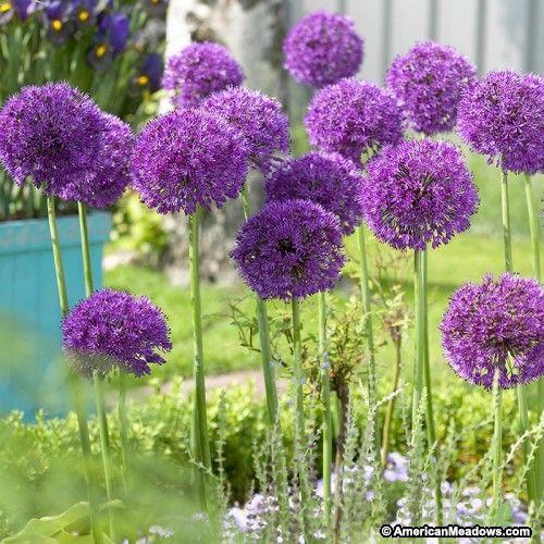 Purple Allium Bulbs Purple Sensation Allium Aflatunense From Wm Perennial Bulbs Purple Flowering Plants Bulb Flowers